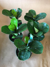 "Load image into Gallery viewer, 4"" Fiddle Leaf Fig ""Lil Bambino"""
