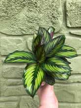 "Load image into Gallery viewer, 4"" Calathea 'Beauty Star'"