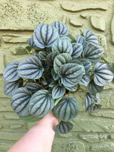 "Load image into Gallery viewer, 6"" Peperomia Frost"