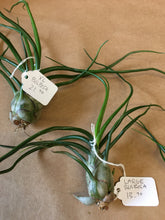 Load image into Gallery viewer, Bulbosa