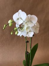 "Load image into Gallery viewer, 3"" Phalo Orchid"