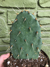 "Load image into Gallery viewer, 6"" Optunia Cactus"