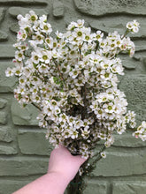 Load image into Gallery viewer, Waxflower