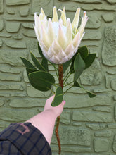 Load image into Gallery viewer, King Protea