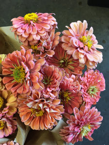 Local Zinnias