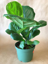 "Load image into Gallery viewer, 6"" Fiddle Leaf Fig"