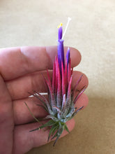Load image into Gallery viewer, Ionantha Fuego