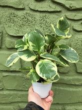 "Load image into Gallery viewer, 4"" Variegated Peperomia Obtusifolia"