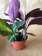 "Load image into Gallery viewer, 6"" Calathea"