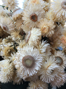 Bleached Strawflower