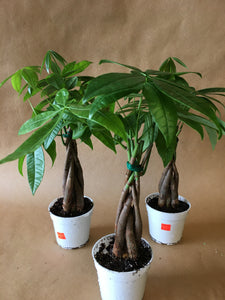 "4"" Money Tree"