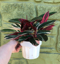 "Load image into Gallery viewer, 6"" Stromanthe Tricolor"