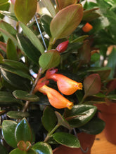 "Load image into Gallery viewer, 6"" Hanging Nematanthus (Goldfish Plant)"