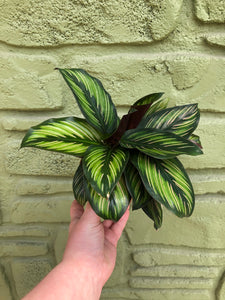"4"" Calathea 'Beauty Star'"