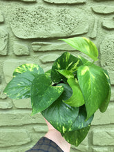 "Load image into Gallery viewer, 4"" Pothos Gold"