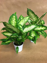 "Load image into Gallery viewer, 4"" Dieffenbachia"