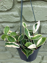 "Load image into Gallery viewer, 6"" Variegated Hoya Carnosa"
