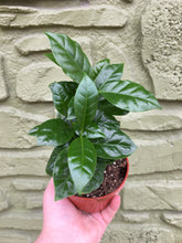 "Load image into Gallery viewer, 4"" Coffee Plant"