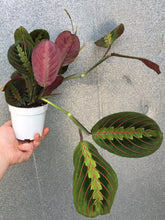 "Load image into Gallery viewer, 4"" Red Prayer Plant"