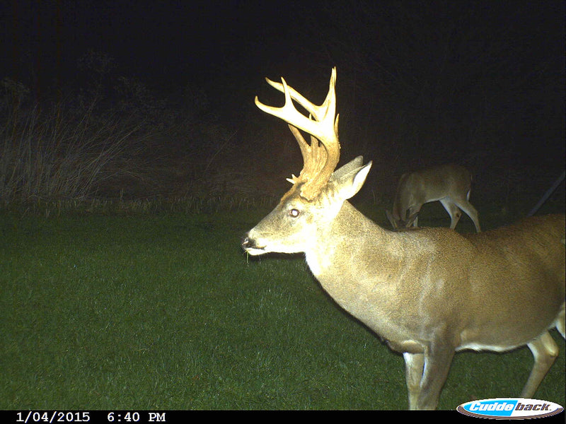 CUDDEBACK COLOUR FLASH C1