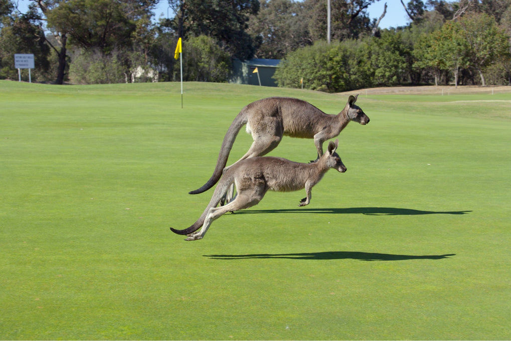 kangaroos on golf course in melbourne