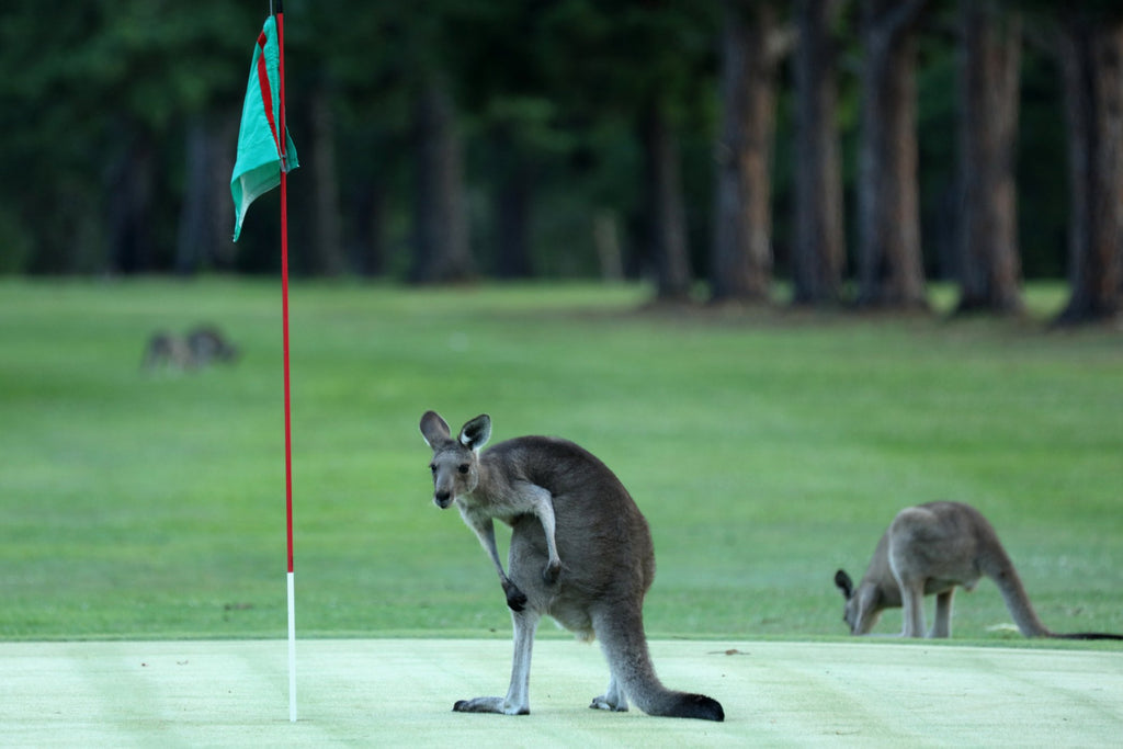 kangroos on gold coast golf course
