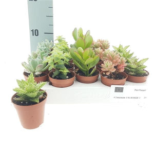 Succulents mix D5,5 H10-15