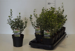 Euonymuis fortunei Emerald Gaiety/Gold f12 h20