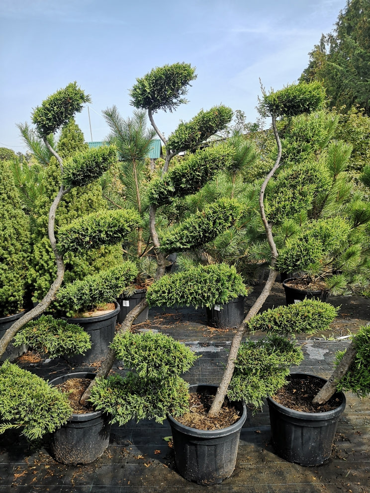Cupressocyparis ley.Cstaewelland Gold clt.30 bonsai