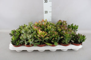 Crassula mix D8,5 H10