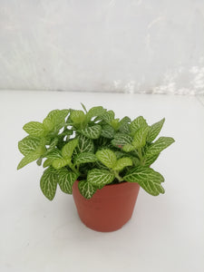 Fittonia mix D8,5 H12