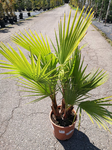 Washingtonia fillifera D26 H135 kom