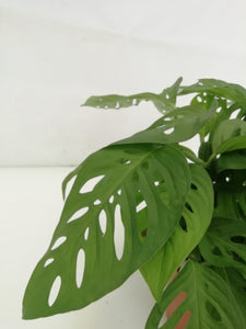 Monstera andasonii D15 H30