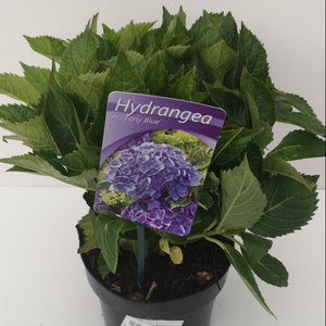 Hydrangea m. Early Blue