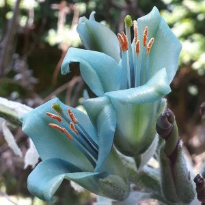 Puya coerulea in flower