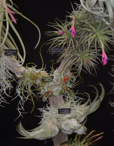 Tillandsia aeranthos and seleriana