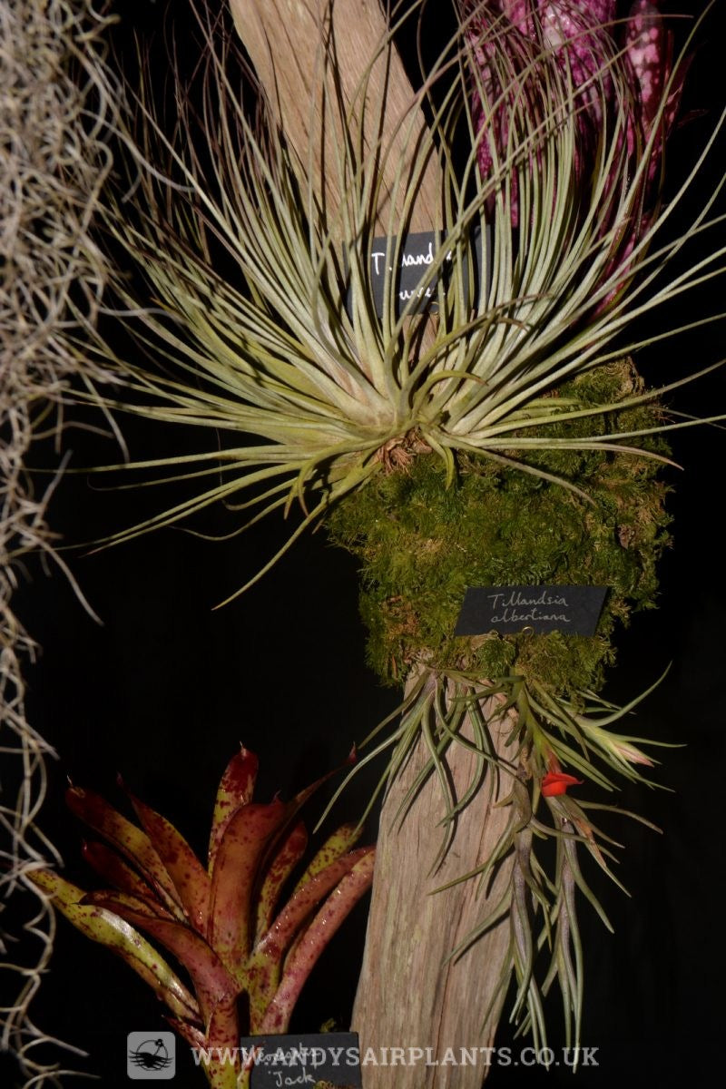 In this picture a nice specimen of Tillandsia juncifolia and the red flower of Tillandsia albertiana.