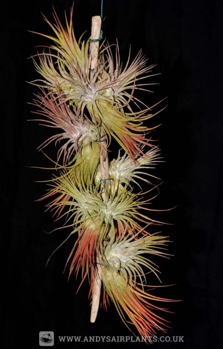 Tillandsia ionantha, multiple plants mounted together.