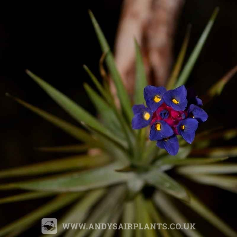 What is an air plant