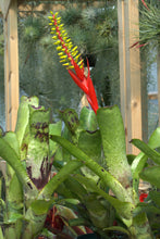 Load image into Gallery viewer, Aechmea nudicaulis