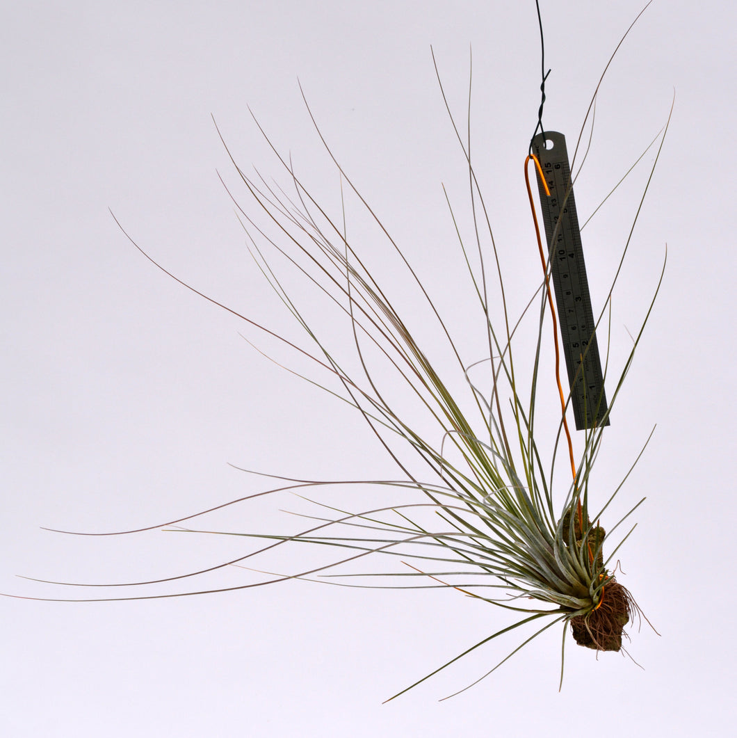 Tillandsia bartramii Mounted on cork - Andy's Air Plants