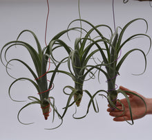 Load image into Gallery viewer, Tillandsia 'Curly Slim' Giant!