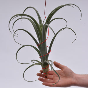 Tillandsia 'Curly Slim' Giant! - Andy's Air Plants