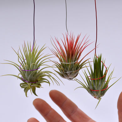 Christmas ionantha on colored wire - Andy's Air Plants