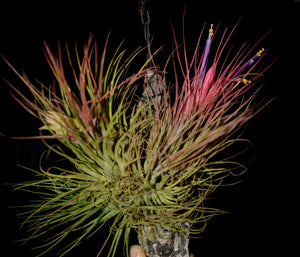 Tillandsia delicata - Andy's Air Plants