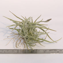 Load image into Gallery viewer, Tillandsia crocata - Andy's Air Plants