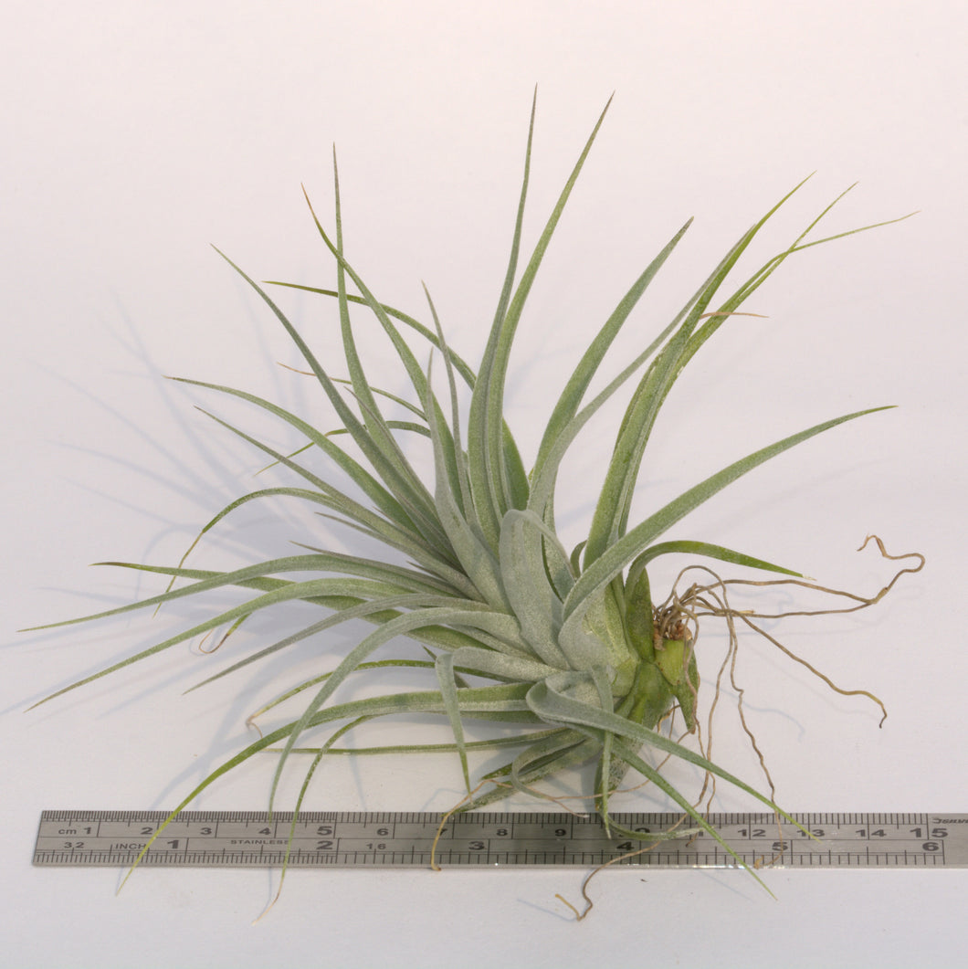 Tillandsia x Houston