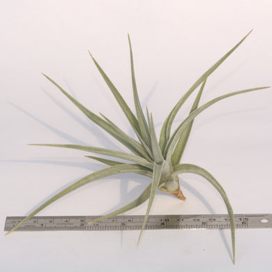 Tillandsia ixioides - Andy's Air Plants