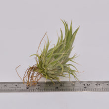 Load image into Gallery viewer, Tillandsia ionantha v. fastigiata syn T. ionantha 'Peanut' - Andy's Air Plants