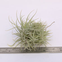 Load image into Gallery viewer, Tillandsia tectorum clumps - Andy's Air Plants